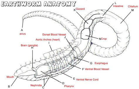 earthworm diagram and label worm dissection search garden initiative biology and anatomy