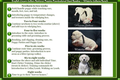 puppy schedule week by week golden retriever available puppies