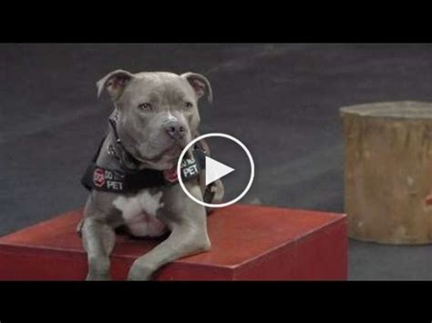 how to your pitbull to be a service former officer service kicked out of restaurant pit bull service