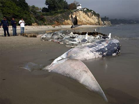 whale malibu beached whale in malibu a rotting curiosity cbs news