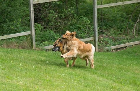 golden retriever puppies ithaca ny running dogs of capitalism 5 for sony alpha nex e mount aps c talk forum