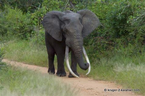 http www kruger 2 kalahari com images large big tusker