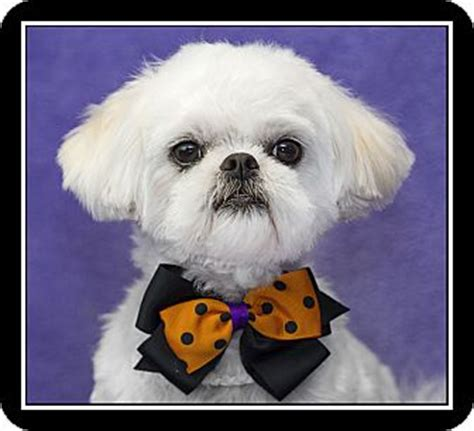 shih tzu rescue glasgow scottish terrier haircut age breeds picture