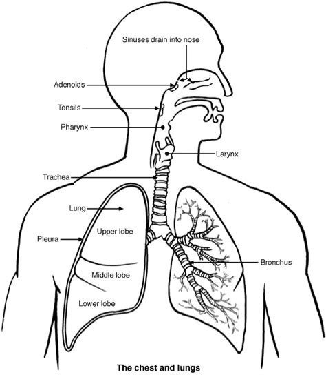 diagram of and lungs diagram of lungs respiratory system