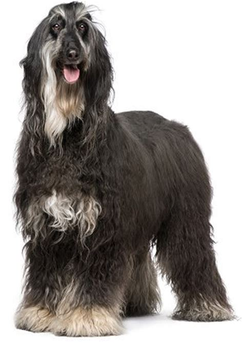 afghan breeds afghan hounds advice you can trust