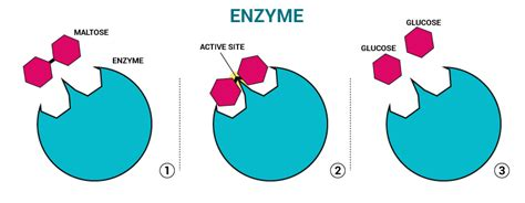 enzyme diagram enzymes structure of an enzyme and their use chemistry