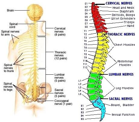 section of the spine that corresponds to the lower back backbone eyes wide open