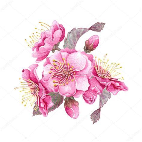 immagini fiori di ciliegio fiore di ciliegio ad acquerello foto stock 169 kois00kois