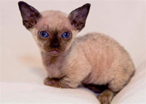 breeds and personalities cat breed minskin cat characteristics and personality dogalize
