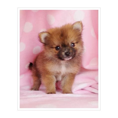 teacup pomeranian for sale bc 1000 images about teacup pomeranian puppies for sale on