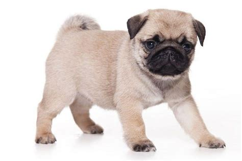 pug behaviour traits pug breed information facts pictures temperament and characteristics