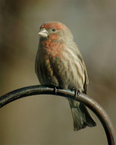 house finch breeding house finch non breeding male gibson woods lake