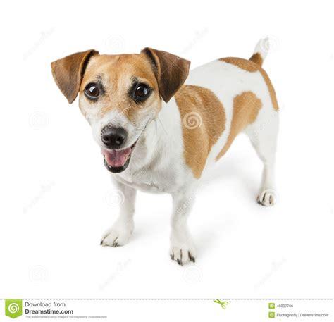 imagenes de perros jack rusell perro jack russell terrier en crecimiento completo foto de