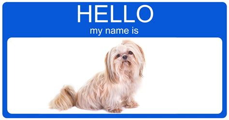 puppy shih tzu names ages and stages breeds picture