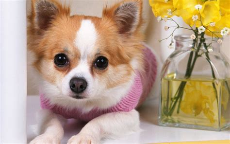chihuahua pictures chihuahuas images chihuahua hd wallpaper and