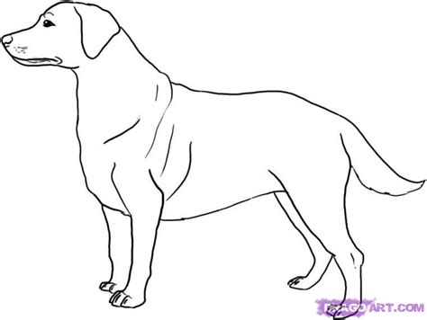 how to the labrador how to draw a labrador step by step pets animals free drawing tutorial