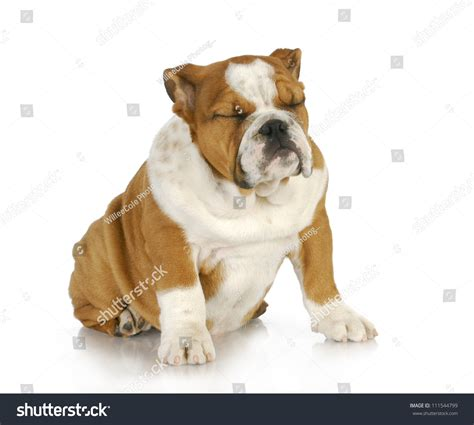 puppy panting while sleeping puppy sleeping sitting bulldog puppy stock photo 111544799