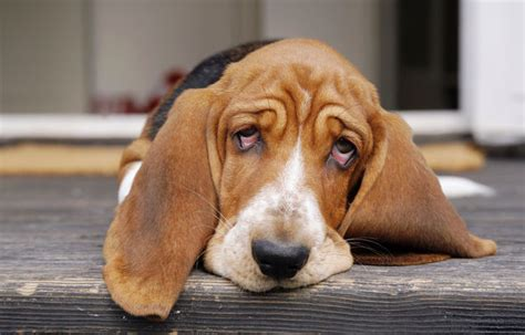 signs of lyme disease in dogs what is lyme disease in dogs signs symptoms everything you need to nature