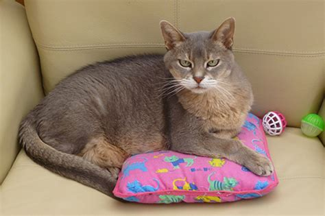 Abyssinian Cat Club of Great Britain