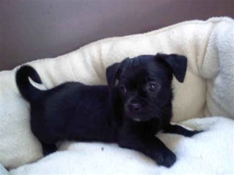 black pug chihuahua mix best 25 chugs ideas on chug puppies chug and pug mix