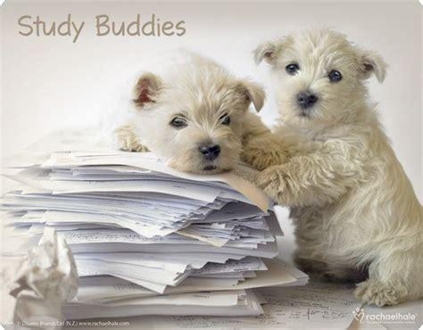 puppy studying study buddies westie puppies