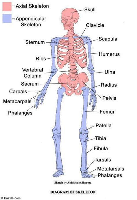the human skull is divided into what two sections facts about the skeletal system