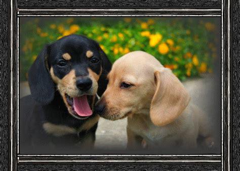 miniature dachshund puppies jacksonville fl mini dachshund puppies jacksonville fl dogs in our photo