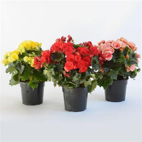 piante fiorite da appartamento foto piante da appartamento con fiori piante da interno
