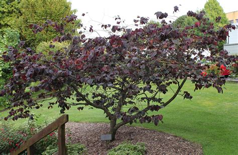 japanese redbud tree photos forest pansy redbud maples n more nursery