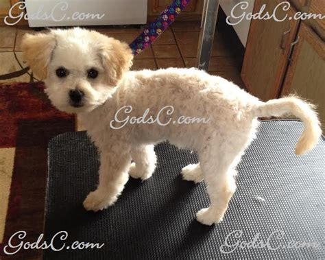 shih tzu poodle mix haircuts poodle mix grooming style poodle miniature god s creatures
