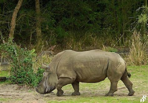 white hippo by dwarf4r on deviantart