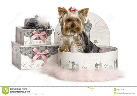 yorkie terrier clothes terrier in a clothes box isolated stock images image 34779534