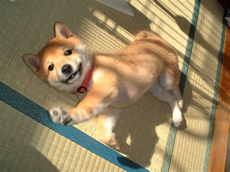 shiba inu puppies temprament