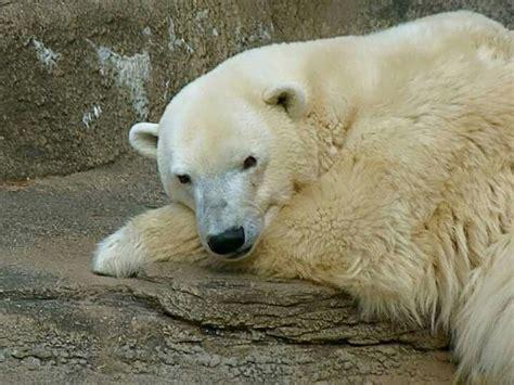 Polar Extinction Essay by Pin By On I Polar Bears