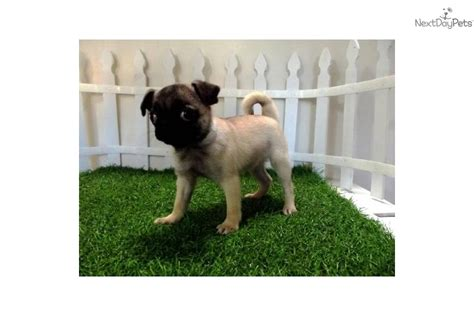 pugs for sale in toronto pug puppies for sale in california