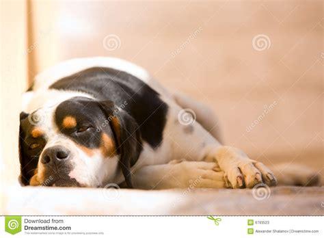 lazy puppy lazy stock photos image 6793523