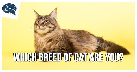 which breed are you which breed of cat are you brainfall