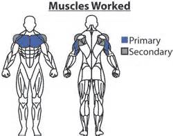 muscle groups used in bench press bench press chest exercises