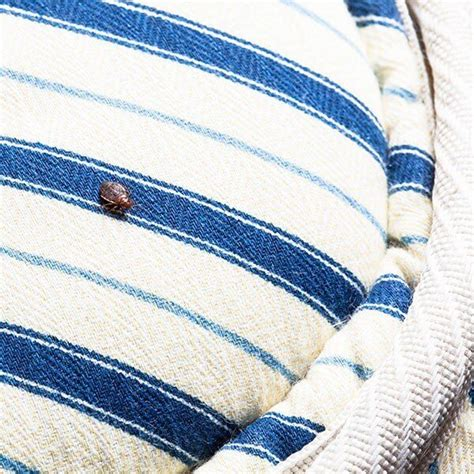 where do bed bugs originate from bed bug facts bed bug information pictures signs