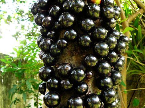 jabuticaba fruit tree panoramio photo of jabuticaba myrciaria cauliflora
