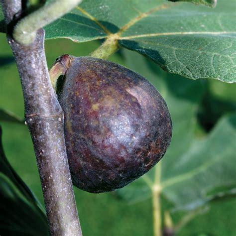 best fig brown turkey fig fig trees stark bro s