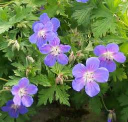 Small Pink Christmas Tree Buy Geranium Johnson S Blue Cranesbill In The Uk