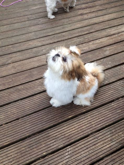shih tzu 6 months 6 months shih tzu cambridge cambridgeshire pets4homes