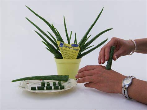 Aloe Vera Pflanze Pflege 4630 by Aloe Vera Pflanze Pflegen Aloe Vera Pflanze Absenker