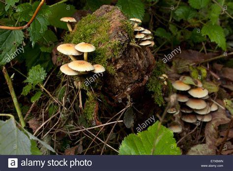 Pilze Englischer Garten by Stropharia Stockfotos Stropharia
