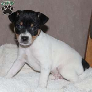 names of puppy mills in pa smooth fox terrier puppies for sale greenfield puppies