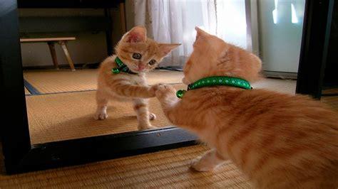 cats vs mirrors cats compilation january