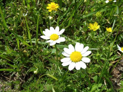 fiore camomilla fotografie di fiori di camomilla