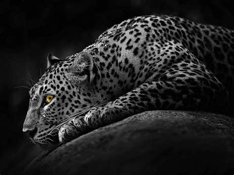 imagenes de jaguar para descargar fondo de pantalla jaguar negro animal fondos de pantalla
