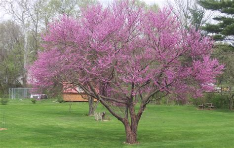 redbud tree pictures photos facts on the redbud trees
